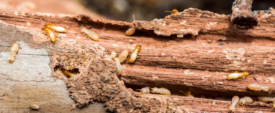 Termites et autres insectes xylophages