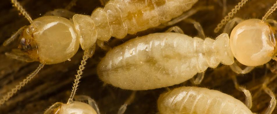 Aucune maison n'est à l'abri d'une attaque de termites