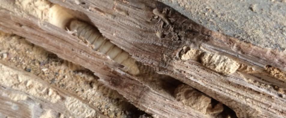 Protégez votre maison des insectes xylophages